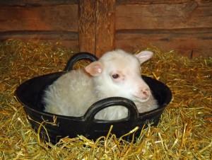 Lamm i fodertråg