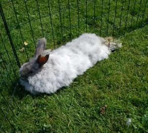 varm-kanin